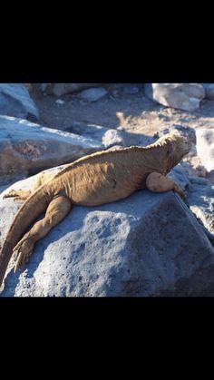A Land Iguana soaks up the sunshine in The Galápagos Islands