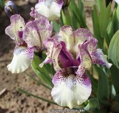 SDB Iris germanica 'Purple Paws' (Black, 2013)