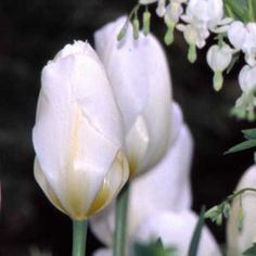 """Tulipa 'Purissima' - ('White Emperor') lovely pure white Heirloom tulip with creamy yellow base and heart; we have seen clumps of this tulip 20 years old! 1943; 12""""-16""""; early-mid spring."""
