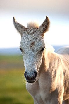 All sizes | Icelandic Horse | Flickr - Photo Sharing!