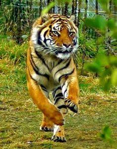 Endangered animal - Beautiful tiger