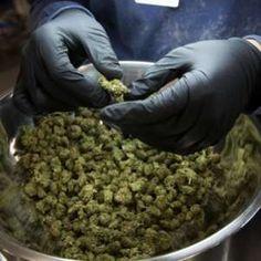 Buy OG-kush in Bulk - King Flavours Cannabis Seeds Online, Cannabis Seeds For Sale, Medical Cannabis, Cannabis Oil, Growing Marijuana Indoor, Cannabis Growing, Cannabis Plant, Kingston, Shopping