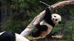 #ZooQs: Why do #pandas climb trees?