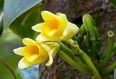 O aroma que confere o nome a esta espécie vem de seus frutos (Foto: Arquivo TG)