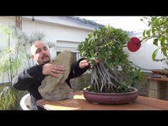 Como hacer bonsai con raíces sobre roca - YouTube