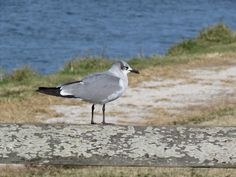 Bird Photos, Birding Sites, Bird Information: NONBREEDING LAUGHING GULLS, ACKERMAN PARK, SARASOT...