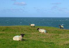 On the cliffs near Towyn Beach, Llyn Peninsula, Wales Aberystwyth, North Wales, Good Old, My Father, Britain, Coastal, England, Beach, Animals