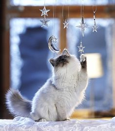 Twinkle twinkle little cat