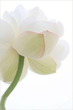 ^Lotus Flower - IMG_5565-800   by Bahman Farzad