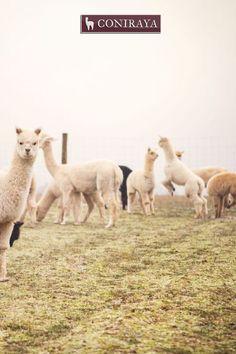 Let's play, okay?! ;) #alpacas #coniraya #alpakino #alpaca