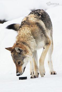 Czechoslovakian Wolfdog with a hockey puck!!!!!!!!! <3