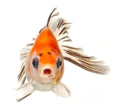 I have become obsessed with my goldfish -- so friendly and beautiful -- and I cringed when my girls came back from the fair with them -- now I adore them.