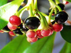 http://treesandshrubs.about.com/od/fruitsnuts/ig/Tropical-Fruit-Photo-Gallery/Coffee-Tree.htm