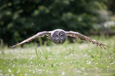 """""""Low Flying Great Grey Owl"""" by Justin Bloom, via 500px."""