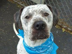 Manhattan Center  BEBO - A0972914  MALE, WHITE / BLACK, PIT BULL / DALMATIAN, 3 yrs OWNER SUR - EVALUATE, NO HOLD Reason CHILDCONFL