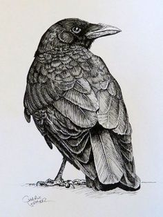 pen and ink drawing of crow. light strokes for light areas. pressured strokes for darker areas. somewhat of an outline. Crows Drawing, Bird Drawings, Ink Pen Drawings, Animal Drawings, Drawing Birds, Crow Art, Raven Art, Bird Art, Desenho Tattoo