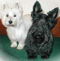 WestHighland White Terrier and Scottish Terrier we own a Westie for 13 years and have Scotties that are brother and sister.