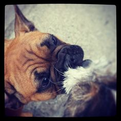heididahlsveen:  #atsjoo and the #frenchbulldog Victor #puppies #puppy #dog #dogs #valp #valper #hund #hunder