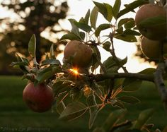 "Steven Bradt ""Apples in the Golden"" Viking's Eye Photography See this image on display at                           THE ART OF IT 315 York Rd. Jenkintown, PA 19046 wwwVikingsEyePhotography.com"