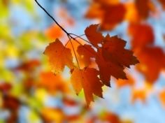 Fall Maple Wallpaper Autumn Nature