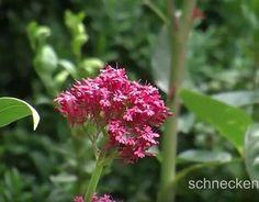 Rote Spornblume - bei Schnecken äußerst unbeliebt!