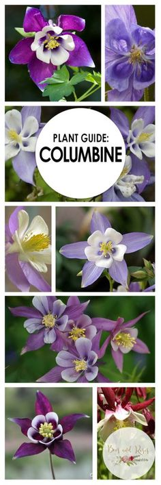 Flowers & Plants: How to grow Columbine and other annual flowers & plants. Best Perennials, Shade Perennials, Flowers Perennials, Planting Flowers, Flower Gardening, Growing Plants, Growing Vegetables, Gardening For Beginners, Gardening Tips