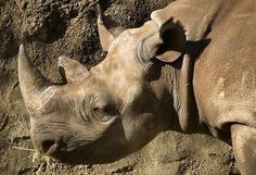 Permit approved to hunt critically endangered Rhino. /;(