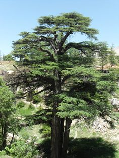 Cedar-of-Lebanon – 15 Count-Grand, Majestic, and Stately, the Cedar of Lebanon grows readily in most USDA Zones. Simple to grow ad care for by DownrightNat on Etsy