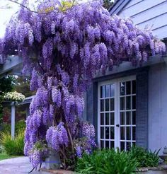 Wisteria sinensis Prolific - Chinese Wisteria, Grafted Plant in . Purple Flowers, Beautiful Flowers, Spring Flowers, Cheap Flowers, Simply Beautiful, Purple Plants, Absolutely Fabulous, Wisteria Sinensis, Chinese Wisteria