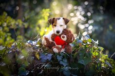 Be mine! by Heavenly Pet Photography #valentine #love #teddy #dog #jackrussell #terrier #heavenly #pet #photography