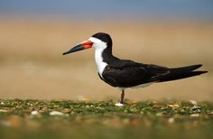 Black Skimmer... Today's new bird of the day. Well, for me at any rate. Certainly don't have these at home!