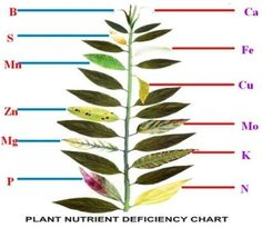 Plant Nutrient Deficiency Leaf Illustrations and Charts Reference Guide   Big Picture Agriculture