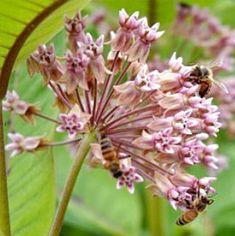 Asclepias syriaca milkweed