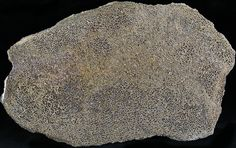 """Polished Agatized Dinosaur Bone Section - 6x3.6"""""""