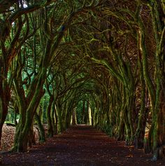 Tree tunnel at Gormanston College County Meath, Ireland