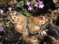 Hietasomersilmä, Hipparchia semele - Perhoset - LuontoPortti
