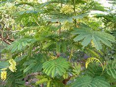 Albizia lophantha Permaculture, Plant Leaves, Plants, Food, Essen, Meals, Plant, Yemek, Eten