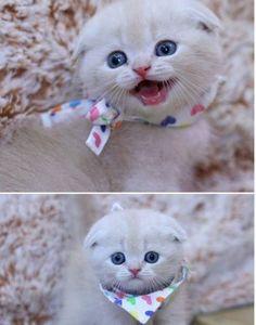 Happy Little Scottish Fold Kitten. Kitten Love, I Love Cats, Cool Cats, Crazy Cats, Baby Animals, Funny Animals, Cute Animals, Cute Cats And Kittens, Kittens Cutest