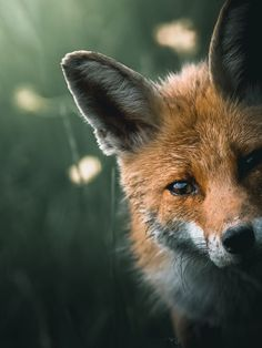 Animals 362539838755074659 - Alexis Rateau, l'art de sublimer la faune en photo Cute Baby Animals, Animals And Pets, Funny Animals, Photos Of Animals, Fuchs Baby, Wild Animals Photography, Wildlife Photography, Abstract Photography, Photography Ideas