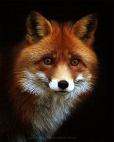 FireFox (remake)) | fox  by Anton Yaguarov on Animal Photos