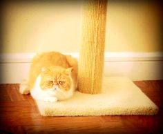 Exotic shorthair cats like to stare at people!