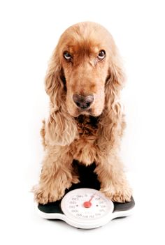 How to Know If Your Dog is Too Fat | Pet Hooligans