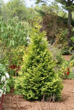 Thuja Polar Gold arborvitae can reach 15 feet in height, and will provide a haven for wildlife year round. Its unusual golden hues create interest on a variety hardy to zone Evergreen Trees, Trees And Shrubs, Farm Gardens, Outdoor Gardens, Garden Trees, Garden Bed, Shade Garden, Green Garden, Thuja Occidentalis