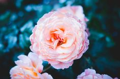 Petal, plant, flower and rose HD photo by Felipe Santana ( on Unsplash Rose Hd Photo, Beautiful Places, Most Beautiful, Laptop Backgrounds, Aesthetic Backgrounds, Hd Photos, Flowers, Plants, Photography