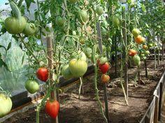 Чего не хватает Вашим помидорам:. Обсуждение на LiveInternet - Российский Сервис Онлайн-Дневников