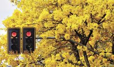 Ipê amarelo Goiânia 2017