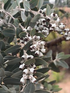 47 Best Eucalyptus And Other Foliage Images In 2020 Australian