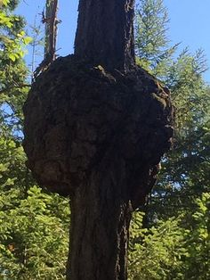 An incredible burl looked like the two sides of a human brain near the parking…