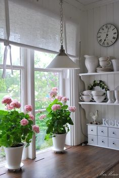 Pink geraniums in simple white pots