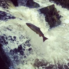 Leaping salmon on river Wye tributary.